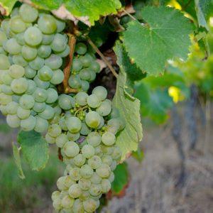 Cepage Chenin blanc des vins de Touraine - Azay-le-Rideau