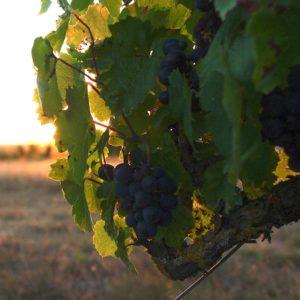 Cépage gamay, vin de Touraine Azay-le-Rideau