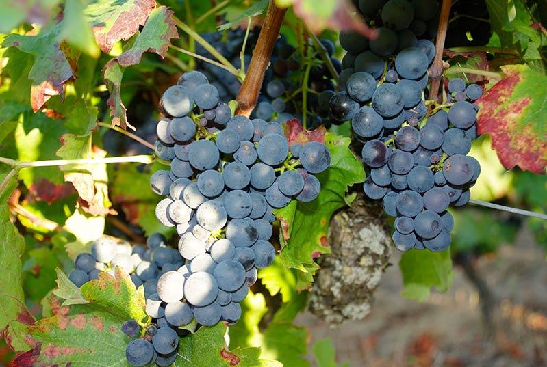 Grappes de Grolleau qui sera bientôt vinifié en rosé Azay pour les plus vielles vignes ainsi que une cuvée rouge vin de France.