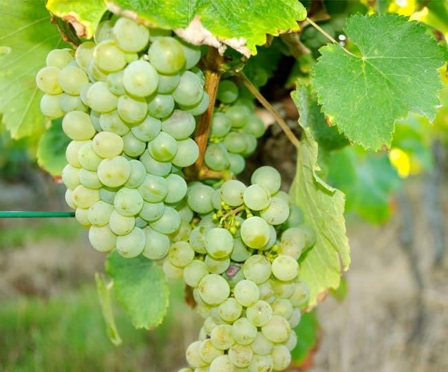 Travail de la vigne en Touraine